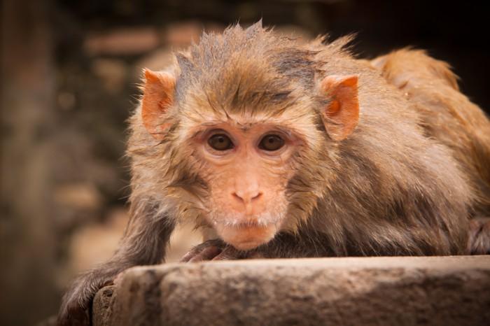 Viajar a la India: el Templo de los Monos o Templo de Galwar Bagh