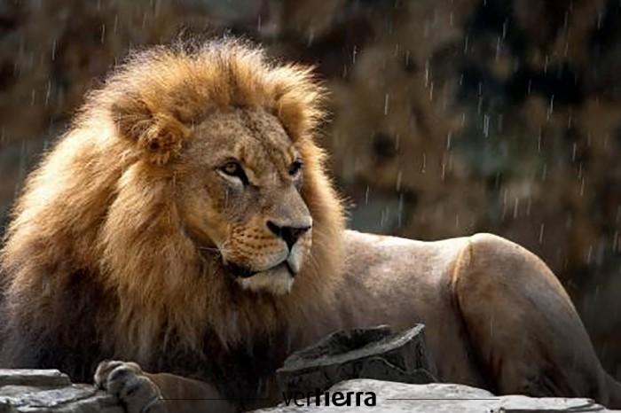 ¡Aparecen los leones perdidos de Etiopía!