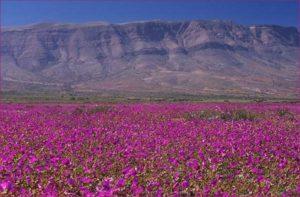 desierto de atacama en flor